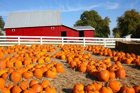 pumpkin patch: Field of Pumpkins and a Red Barn