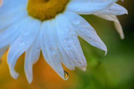 Soft Focus Daisy Petals with Water Drops