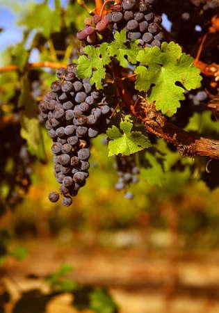 merlot: Merlot Grapes on the Vine Stock Photo