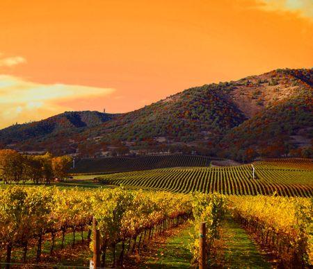 Filas de uva en los viñedos Vines en Sunset  Foto de archivo - 2150673