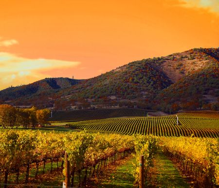 napa valley: Rows of Grape Vines in Vineyard at Sunset