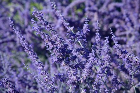backdrop: Field of Lavender Blooming