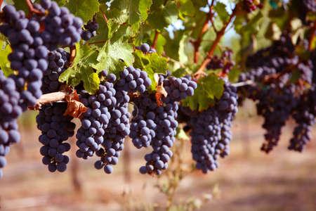 merlot: Merlot Grapes on Vine in Vineyard