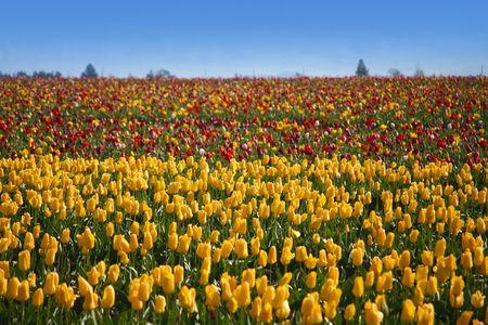 Hillside Spring Tulips in Field  Stock Photo - 2301088
