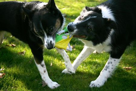 tug of war: Dogs Playing Tug of War