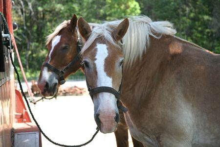 Two Draft Horses Tied to Horse Trailer