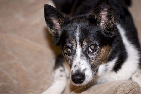 heeler: Heeler Mix Dog Laying on Bed