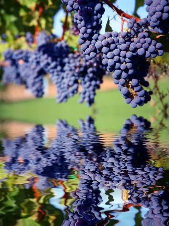 Merlot Grapes on Vine in Vineyard Reflecting in Water photo
