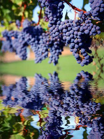 Merlot Grapes on Vine in Vineyard Reflecting in Water