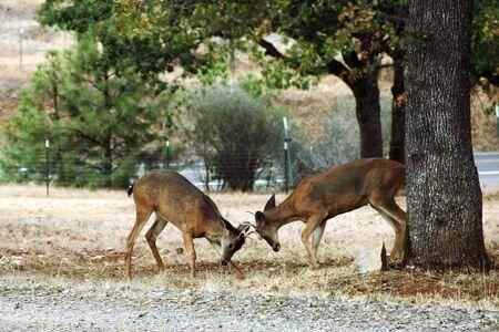 rutting: Male Deer Rutting