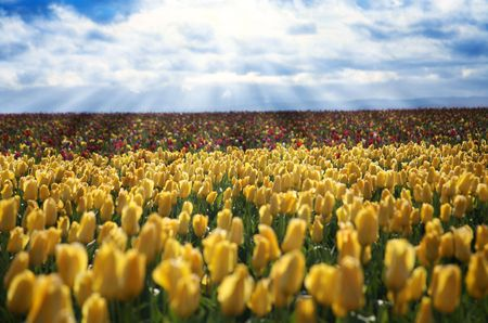 Sunshine Beaming on a Hillside of Tulips in Field photo
