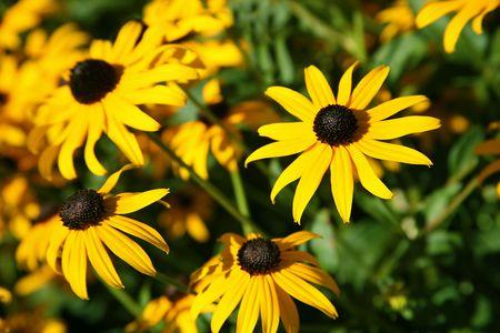 Summer Flowers, Black-eyed Susans Rudbeckia hirta photo