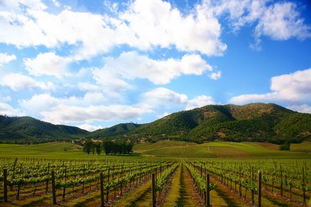 Vineyard in Spring with a Bright Sunny Sky photo