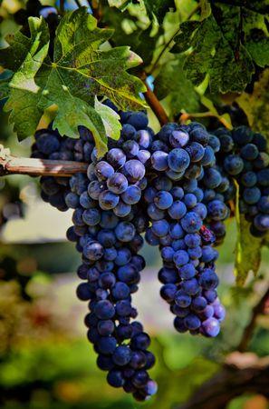 wine grape: HDR Merlot Grapes on Vine in Vineyard Stock Photo