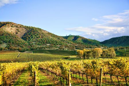 Autumn Vineyard - Rows of Grapevines in Fall Stock Photo - 3700073