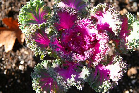 winter garden: Kale Growing in Winter Garden Stock Photo