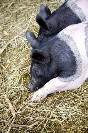 hampshire: Dos cerdos Hampshire enraizamiento en la paja