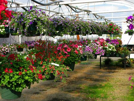 Greenhouse Nursery - Colorful Large Hanging Flower Plants photo