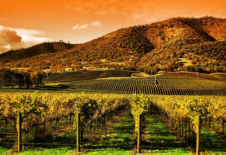 Rows of Grape Vines in Vineyard at Sunset Stock Photo - 4373549