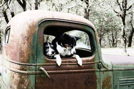 Two Black and White Dogs in an old Truck photo