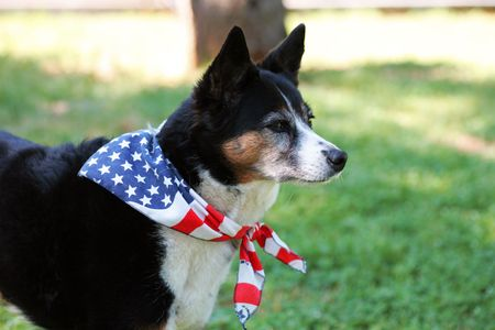 Heeler Mix Breed Dog with Flag Bandanna Stock Photo