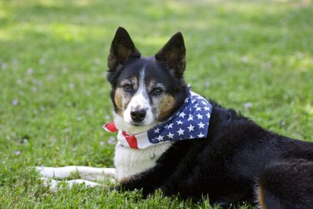 fourth of july: Heeler Mix Breed Dog with Flag Bandanna Stock Photo