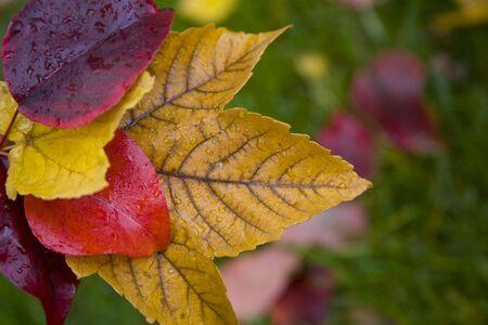 Red, Yellow, Orange, Maple Leaves Stock Photo - 5776992
