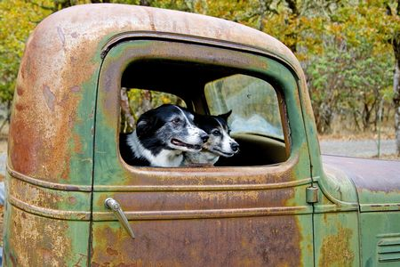 heeler: Two Dogs, Border Collie and Heeler Mix sitting in an old truck