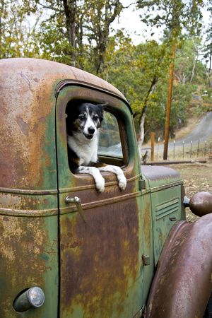 Heeler Mix Breed Dog in an Old Vintage Truck