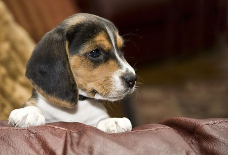 Cute Beagle puppy peaking over leather couch looking left