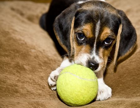 Cute Beagle puppy playing with a tennis ball