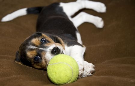 Cute Beagle puppy laying down playing with a tennis ball NOTE: Focus on puppies face