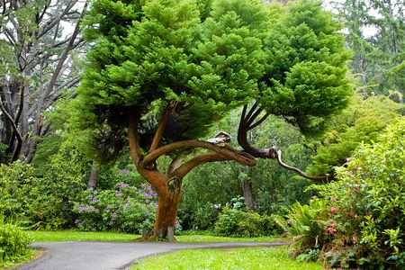 Cedar Tree in Park in Summer with Rhododendrons