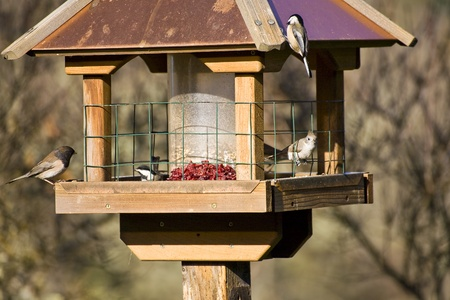 bird feeder: Feeding Wild Birds in Winter - Oregon Junco, Chickadee and a Titmouse Stock Photo