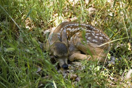 curledup: Deer, a newborn fawn laying curled up in the grass