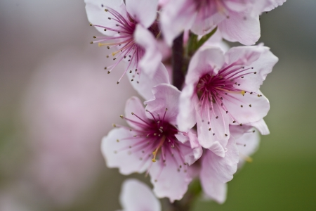 Pink Peach Tree Blossoms with copy space