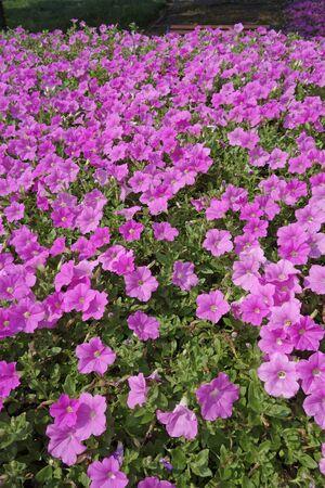ペチュニアの花の庭 写真素材