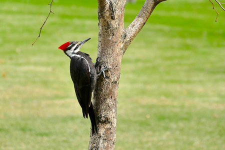 Female pileated woodpecker perched on tree trunk with green grass background Banque d'images
