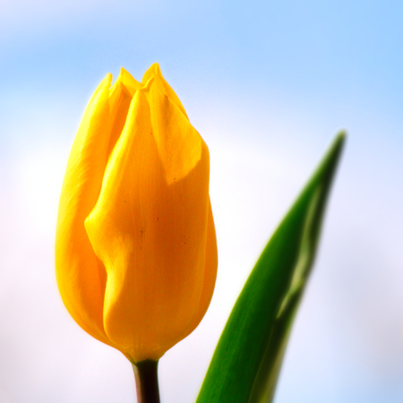One yellow orange tulip (Liliaceae Lilieae tulipa) with green leaf.