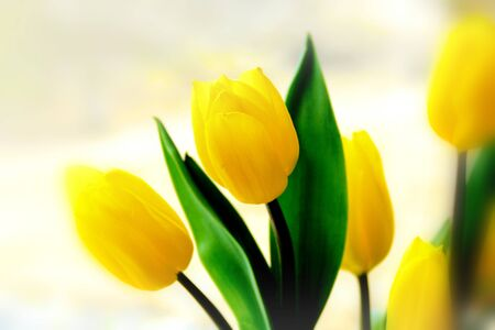 Beautiful boquet of yellow tulips (Liliaceae Lilieae tulipa) with green leaves Stock Photo
