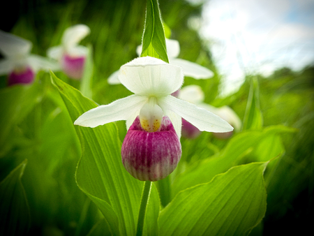 Showy Ladys-slipper - Cypripedium reginae - also known as Pink-and-white Ladys-slipper or the Queens Ladys-slipper. Beautiful Minnesota State Flower - pink and white on green natural background