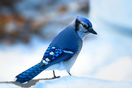 Beautiful bluejay bird - corvidae cyanocitta cristata - standing on white snow on sunny day