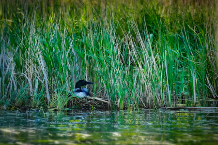 Common loon or great northern diver - Gavia immer - nesting among the reeds along the edge of a remote lake. Stock Photo