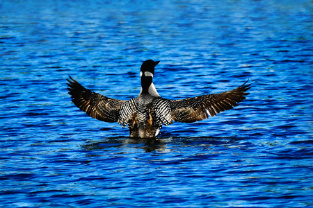 Common loon or great northern diver - Gavia immer - flapping wings while swimming in a lake.