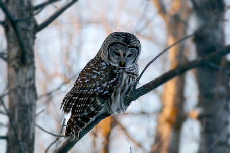 Barred owl strix varia or northern barred owl or hoot owl perched on branch closeup. Stock Photo