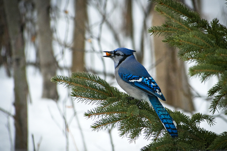 Beautiful bluejay bird - corvidae cyanocitta cristata - perched on evergreen spruce branch with morsel in beak