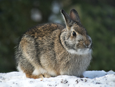 Snowshoe Hare Rabbit - Lepus americanus - or varying hare on snow in winter Banque d'images