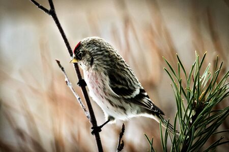 Common Redpoll bird perched on birch stump facing left. Soft background.