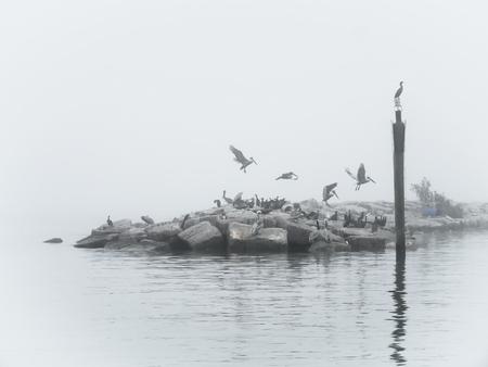 Brown Pelicans on break water on a foggy morning