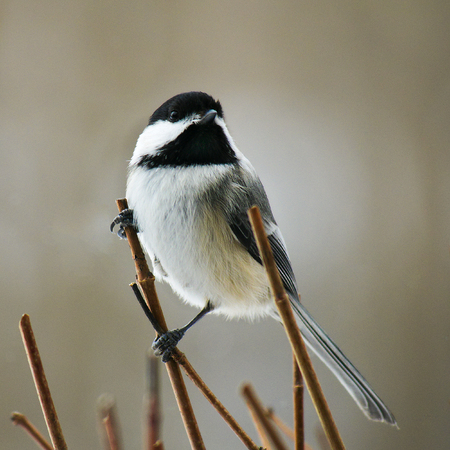 Chickadee black capped, Poecile atricapillus, single bird perched on twigs